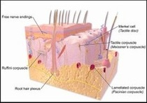 Illustration of Tactile Receptors in the Skin