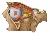 Left eyeball in orbit with muscles and nerves