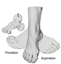 Foot in neutral, supination and pronation