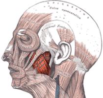 Gray's Anatomy: Left masseter muscle