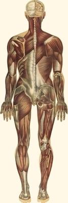 骨骼肌(後)