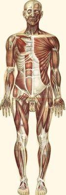 骨骼肌(前)