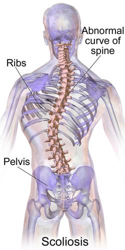 格雷的解剖書:兩個腰椎及其韌帶正中矢狀切面。維基