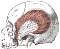 Gray's Anatomy: Left temporal muscle