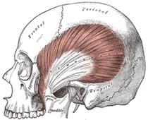 格雷的解剖書:左顳肌